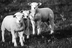 Curiosity times three (PaulHoo) Tags: blackandwhite bw 3 holland film nature monochrome analog 35mm three nikon sheep farm young curiosity f5 vinkeveen lightroom 2016 adox silvermax