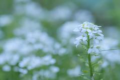 Dreamy (Filsa Bint Ahmed) Tags: flowers macro floral soft dreamy blooms tones focused d90 105mmf28g spring2016