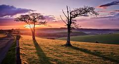 The Resolute Oaks II (Langstone Joe) Tags: sunset sheep hampshire windswept meonvalley oaktrees oldwinchesterhill downland chalkhills
