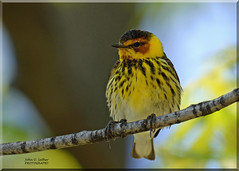 Cape May Warbler (Explored) (Windows to Nature) Tags: