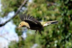 (tom-steele) Tags: trees tree bird nature birds fly wings wildlife flight smallbirds smallbird