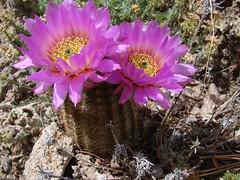 Echinocereus reichenbachii ssp. reichenbachii  DSC08995 (sierrarainshadow) Tags: ssp echinocereus reichenbachii