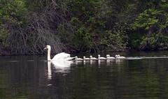 a glide of swans (Jeff Mitton) Tags: river swan huronriver goslings wondersofnature earthnaturelife