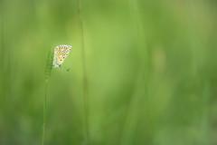 Bel-Argus ( Lysandra bellargus ) (aeyuio) Tags: light wild macro nature alpes butterfly nikon bokeh lumire wildlife vert papillon nikkor alpesmaritimes lycaenidae kenko polyommatinae lysandrabellargus nikon105vr belargus nikond750