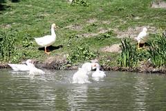 Ganzen (Omroep Zeeland) Tags: ganzen goes