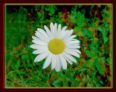 Daisy 3 - Anaglyph 3D (DarkOnus) Tags: wild flower macro closeup lumix stereogram 3d weed pennsylvania anaglyph panasonic stereo daisy bloom stereography buckscounty ttw dmcfz35 darkonus