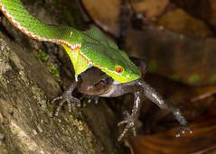 Trimeresurus stejnegeri [Chinese Green Tree Viper] (kkchome) Tags: china nature fauna asia reptile snake wildlife pit viper herps hunan herpetology trimeresurus herping stejnegeri