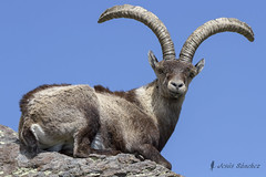 Cabra monts macho (Capra pyrenaica victoriae) (jsnchezyage) Tags: naturaleza fauna ngc npc gredos caprapyrenaica cabramonts