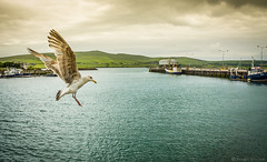 Prepare For Landing (Fergal Gleeson) Tags: ireland sea mountains water landscape boats outdoors flying harbour seagull ships scenic dingle
