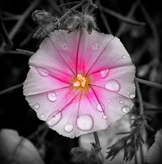 Pursuit of Happiness. (god_save_the_green) Tags: pink bw flower macro nature water fleur grass rain yellow square petals spring flora heart bokeh happiness nb pistil raindrops environment 16 waterdrops zoomup nbpartiel olympusepl1 june2016 mathildeaudiau