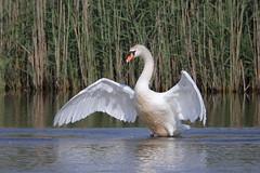 Swan (Cygnus olor) (markkilner) Tags: canon eos 7d dslr kent england kilner televue tv60 televue60 manualfocus telescope apo primefocus nature wildlife springwatch stodmarsh nnr bird groveferry swan muteswan cygnusolor wings