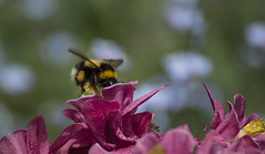 Bee on the Aquilegia - May 2016 (GOR44Photographic@Gmail.com) Tags: black flower macro green yellow canon garden 100mm bee aquilegia 100mmf28 canon100mm 60d gor44
