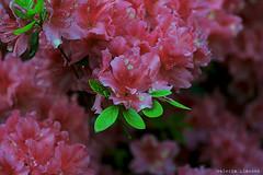 L1008726 (LaBonVampire) Tags: leica flowers nature zeiss carlzeiss zm leicam8 teletessart485 teletessar85