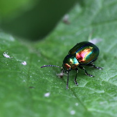 (bugman11) Tags: macro nature animal animals fauna canon bug insect leaf beetle nederland thenetherlands insects bugs beetles 100mm28lmacro
