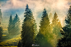 fog in the conifer forest-161606 (M. Pellinni) Tags: ifttt dropbox forest spruce landscape pine fog tree green nature trees mountain morning mist foggy background beautiful light natural color autumn sun view season park woodland misty conifer mysterious haze dawn coniferous blue meadow outdoor environment fantasy sunlight sunrise aerial woods path sunset scenery treetops