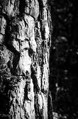 """""""Bei meiner Borke!"""" (-BigM-) Tags: wood tree forest germany deutschland holz wald baum rinde pfalz deutsche weinstrasse"""