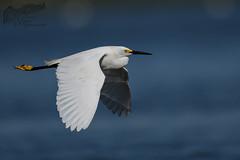 Snowy Egret 6_24 2 (krisinct- Thanks for 12 Million views!) Tags: nikon g 500 f4 vr afs d500