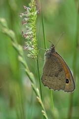 Bolboreta (bidueiro) Tags: naturaleza macro mariposa