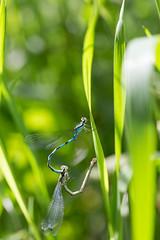 Tytnkorento (Coanagrionidae) (Juha-Matti Markkanen) Tags: macro bug sigma105mm