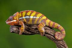 Panther Chameleon, CaptiveLight, Bournemouth, UK (rmk2112rmk) Tags: uk bokeh reptile lizard chameleon bournemouth pantherchameleon furciferpardalis captivelight