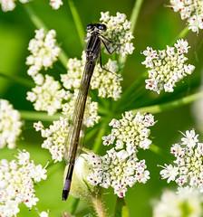 Blue-tailed Damselfly female - form violacea (davep90) Tags: dragonfly flash lancashire leigh damselfly pennington wigan damsel lnr