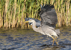 prelude (blackfox wildlife and nature imaging) Tags: heron canon handheld wirral rspb 80d burtonmerewetlands sigma150600mmossport