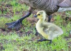 Gosling Trot (Pauline Brock) Tags: cute bird nature yellow spring wildlife goose gosling waterfowl trot canadagoose babygoose babyandmother