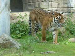 Sumatratiger (Chriest) Tags: sumatratiger pantheratigrissumatrae burgerszooarnheim