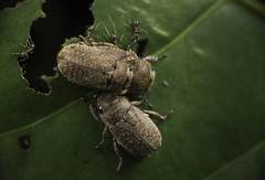 When three's a crowd (terrencechuapengqui) Tags: macro beetles pulau scarab ubin