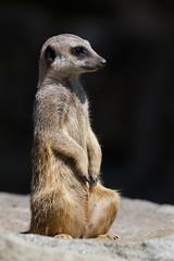 Meerkat sentry (greenzowie) Tags: animal mammal zoo meerkat edinburgh sentry edinburghzoo 2016 photographyworkshop greenzowie