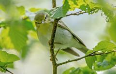 JWL8409  Wood Warbler.. (jefflack Wildlife&Nature) Tags: nature birds forest countryside woodlands wildlife avian warbler wildbirds warblers woodwarbler
