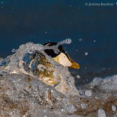 Eider Splash (JKmedia) Tags: boultonphotography coastal looe cornwall seaside seabird water splash duck eider black white square aquatic bird waterfowl swim canoneos7dmarkii