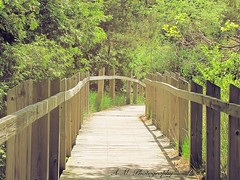 (amandamae24) Tags: trees tree beach forest way outside outdoors woods walk walkway boardwalk