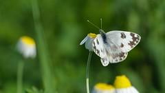 DSCF7963 (faki_) Tags: butterfly insect fuji fujifilm rovar xe1 lepke 50230 fujinonxc50230mmf4567ois