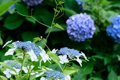 24Yamada Pond Park (anglo10) Tags: flower japan