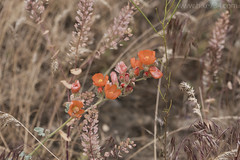"""Orange Globe Mallow • <a style=""""font-size:0.8em;"""" href=""""http://www.flickr.com/photos/63501323@N07/27414156121/"""" target=""""_blank"""">View on Flickr</a>"""