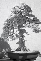 DSC_3917s (An Xiao) Tags: arboretum bonsai penjing