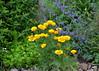 Californian Poppy (Crowcombe Al) Tags: californianpoppy
