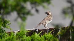 Lark Sparrow (michaelf133) Tags: tree bird eye nature photography bill nikon texas wildlife tail beak sparrow 70300mm creatures birdwatching lark songbird birdphotography birdsoftheworld d3100