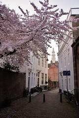 bloesem Middelburg (Omroep Zeeland) Tags: natuur zeeland lente bloesem middelburg walcheren voorjaar