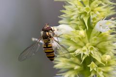 Zweefvlieg (William van Dieten) Tags: insect zweefvlieg