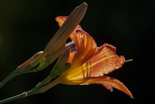 Daylily (Taglilie)