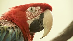 red-headed macaw (Pejasar) Tags: macaw redheaded red feathers beak tulsa zoo oklahoma
