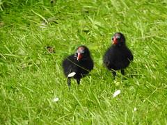 Mink kills moorhen chicks (David Bowen Photography) Tags: chick killer mink chicks kills moor hen moorhen