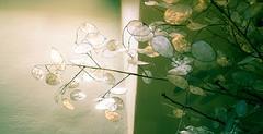 lunaria judas penning (emilewiersum) Tags: plants white flower macro green garden nikon groen purple seed lila blad d750 gras hydrangea tuin nerf lente rood wit bloemen bollen dicentra paars bloem hortensia druppel tulp lunaria hartje graan zaad bloemknop bloembol emilewiersum muntblad