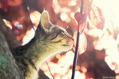 Aroma rojo (Nando Verd) Tags: red naturaleza verde hoja rayas blanco sol animal azul cat contraluz arbol gris rojo bokeh sombra alicante ojos gato campo felino tronco aire fresco libre mascota rama elda roja petrer oreja piel machas mamifero ralla