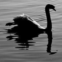 Broken swan / Hattytrmelk (Anoplius) Tags: white abstract black reflection germany deutschland mirror wasser spiegel schwarzweiss konstanz constance hatty schwann fekete fehr nmetorszg vz