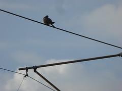 Bird on a wire (stillunusual) Tags: street city uk england sky urban cloud bird nature manchester cityscape pigeon wildlife streetphotography urbannature urbanwildlife leve m19 mcr urbanscenery 2016 levenshulme manchesterstreetphotography