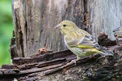 18 06 2016 (cathyk31) Tags: bird oiseau carduelischloris europeangreenfinch verdierdeurope fringillids passriformes