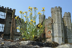 Wallflower (daisyglade) Tags: summer ruins tudor midhurst wallflower finnbrothers edibleflowers cowdrayhouse